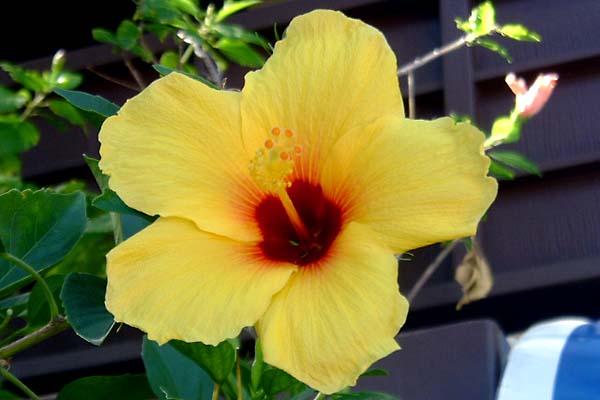 156 Hawaii National flower. Yellow Hibiscus 20051002