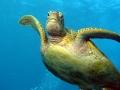 038 00026a Loggerhead Turtle